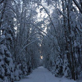 Kuva talvipolusta. Puut painavat puiden runkoja polun ylle kaareen.