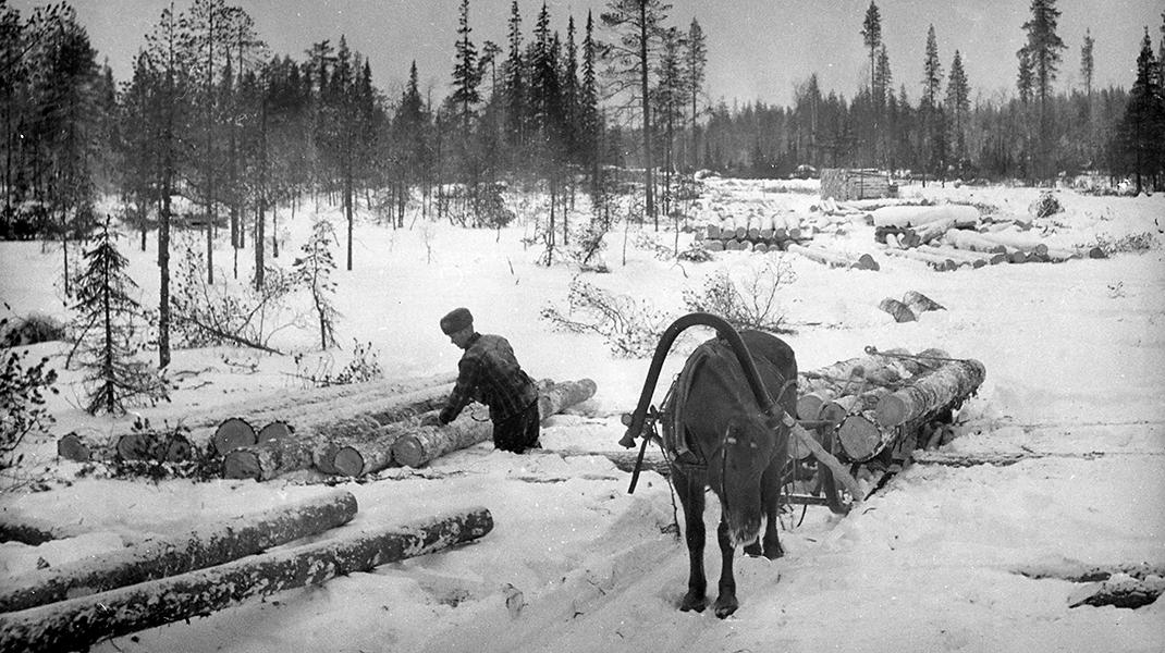 Mies purkaa tukkikuormaa hevosen vetämästä reestä.
