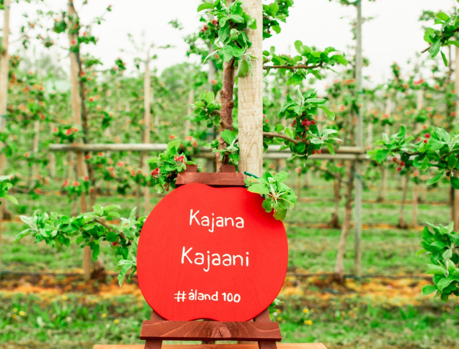 Ahvenanmaan Kajaanille lahjoittama omenapuu
